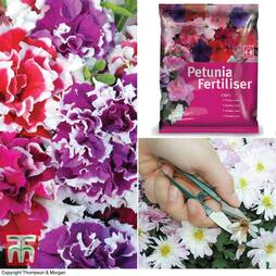 Petunia 'Orchid-Flowered Mixed' F1 Hybrid Success Kit