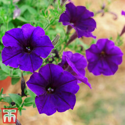 Petunia 'Trailing Blue'