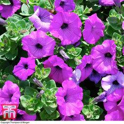 Petunia 'Trailing Violet'