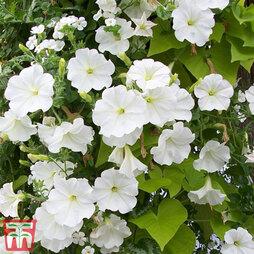 Petunia 'Trailing White'