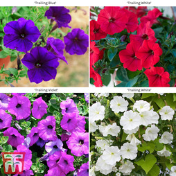 Petunia 'Trailing Collection'
