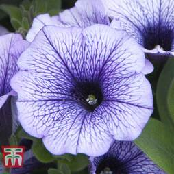 Petunia Trailing 'Blue Vein'