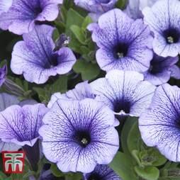 Petunia Trailing 'Blue Vein'