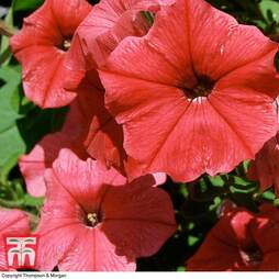 Petunia Trailing 'Hot Red Vein'