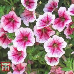Petunia Trailing 'Pink Vein'