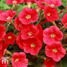Petunia Trailing 'Baby Red Vein'