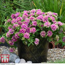 Petunia Frills & Spills 'Darcey Rosa'