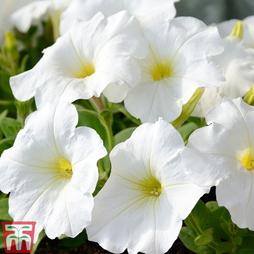 Petunia 'Mirage White' F1 Hybrid