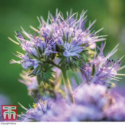 Green Manure 'Phacelia'
