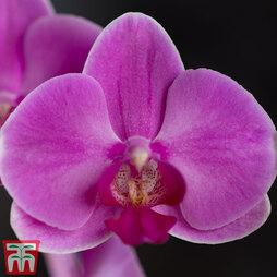 Phalaenopsis (House Plant)