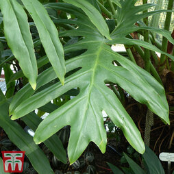 Philodendron selloum 'Cum Laude' (House Plant)