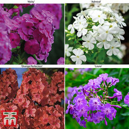 Phlox paniculata 'Fragrant Collection'