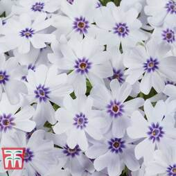 Phlox subulata 'Pharoah Blue Eye'