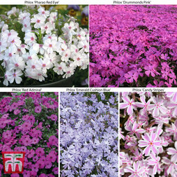 Creeping Fragrant Phlox Collection