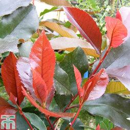 Photinia x fraseri 'Scarlet Blaze'
