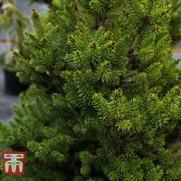 Picea abies 'Wills Zwerg'