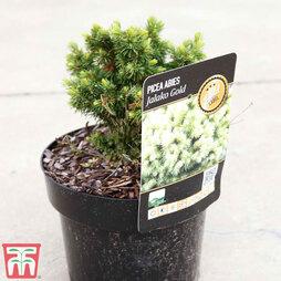 Picea glauca 'Jalako Gold'
