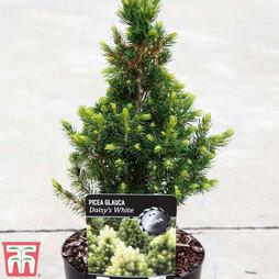 Picea glauca var. albertiana 'J.W. Daisy's White'