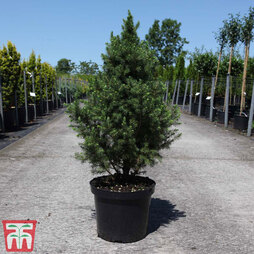 Picea glauca 'Conica December'
