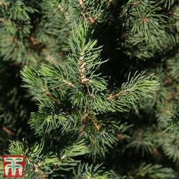 Picea glauca 'Conica December'