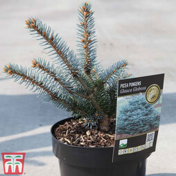 Picea pungens (Glauca Group) 'Globosa'