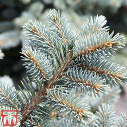 Picea pungens (Glauca Group) 'Globosa'