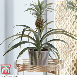 Pineapple Plant (House Plant)