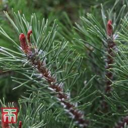 Pinus mugo 'Pumilio Group'