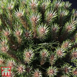 Pinus nigra 'Marie Bregéon'