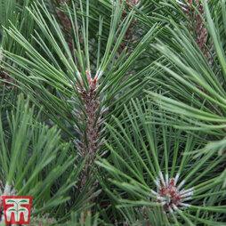 Pinus nigra 'Pierrick Bregéon'