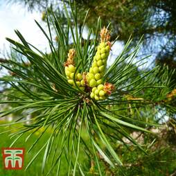 Pinus pinea (Christmas Tree)