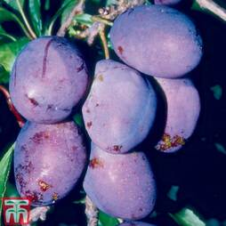 Plum 'Rivers's Early Prolific'