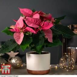 Poinsettia 'Premium Pink' - Gift