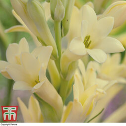 Polianthes tuberose 'Yellow Baby'