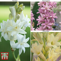 Polianthes tuberosa 'Trio Collection'