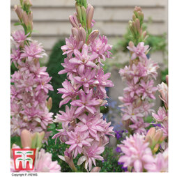 Polianthes tuberosa 'Pink Sapphire'