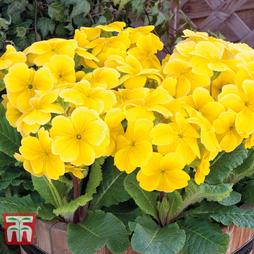 Polyanthus 'Stella Lemon Sherbet'