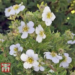 Potentilla fruticosa 'Mount Everest' (Large Plant)