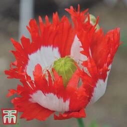 Poppy 'Danish Flag'