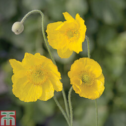Poppy 'Mongolia'