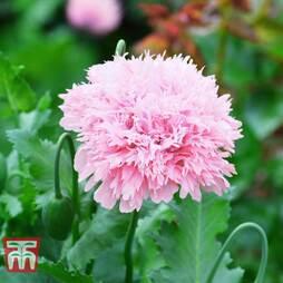 Poppy 'Lilac Pom Pom'