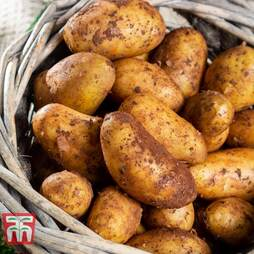 Potato 'Nicola' - Part of the Alan Romans Collection