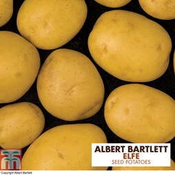 Potato 'Elfe'