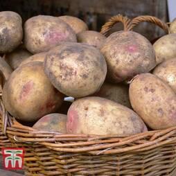 Potato 'Picasso'