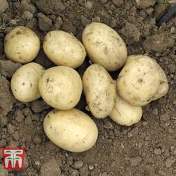 Potato 'Pentland Javelin'
