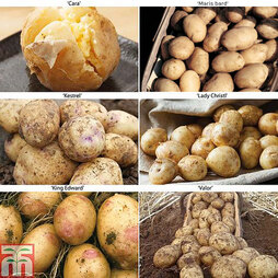 Potato 'Allotment Favourites Collection'