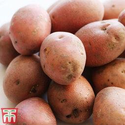 Potato Caledonian Rose