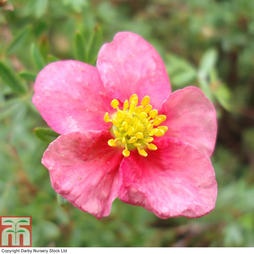 Potentilla fruticosa 'Pretty Polly'