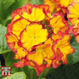 Polyanthus 'Inara Flame'