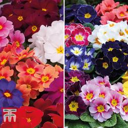 Spring Primrose Garden Ready Duo